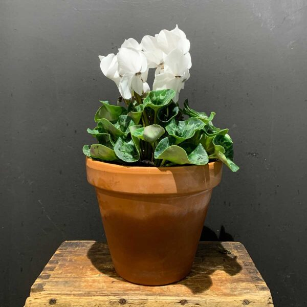 Flower Flower Southern Highlands, White Cyclamen